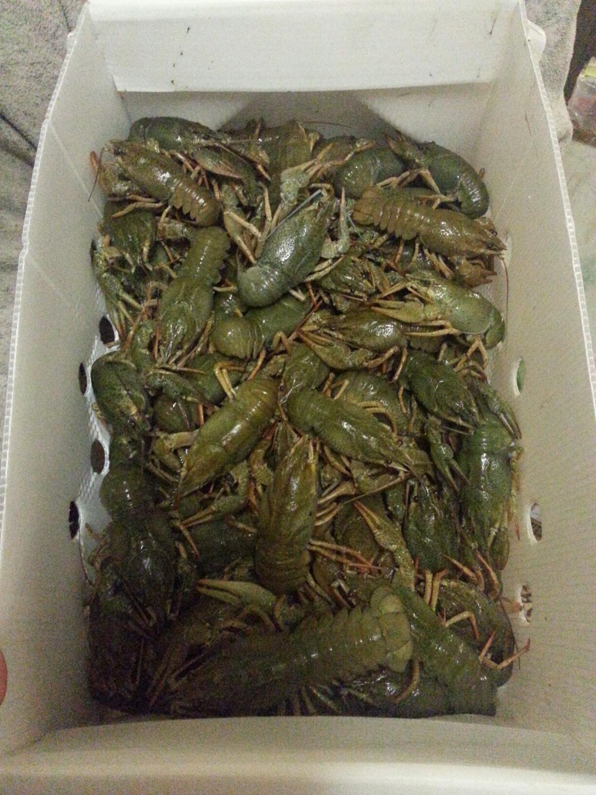 出售鲜活小龙虾